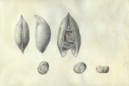 <i>Castanospermum australe</i>