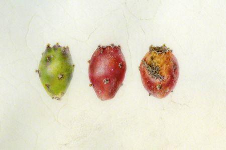 <i>Opuntia spp.,</i> fruit