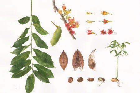 <i>Castanospermum</i>