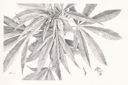 <i>Cannabis</i>
